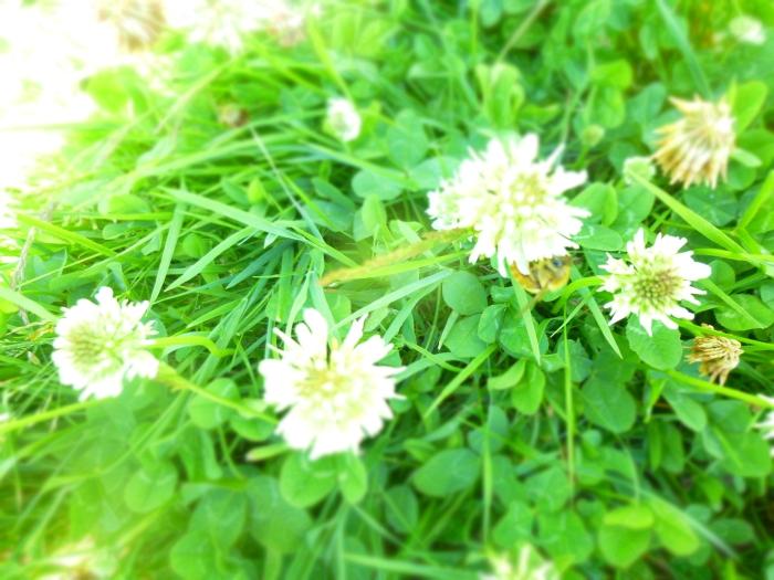 clover grass bee