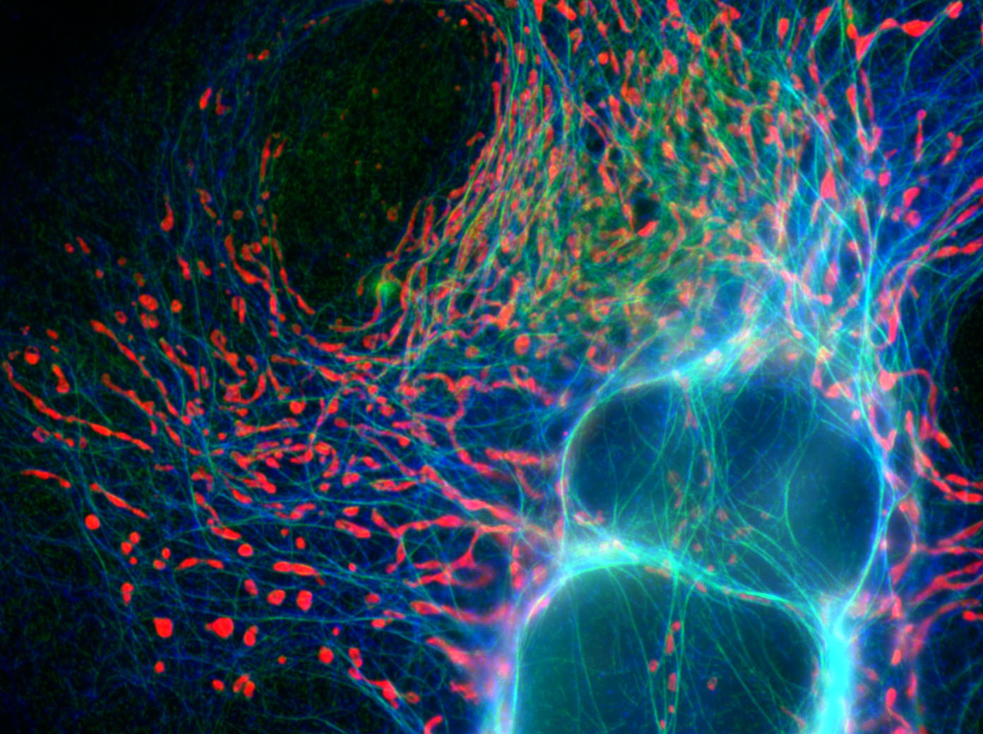 Cultures cell stained for mitochondria (red), microtubules (blue), and the mitochondrial fission protein Drp1 (green)