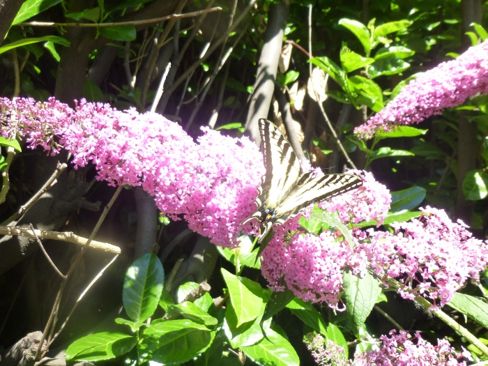 today butterfly swallowtail 2