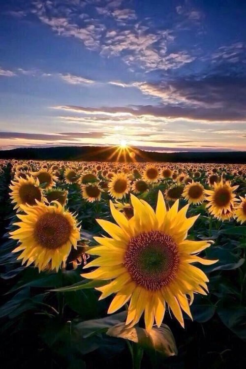 sun flower field sun happy nature