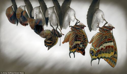 two-tailed-pasha-butterfly-emerging-from-its-pupa