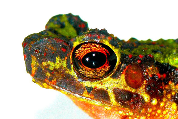 toad-of-borneo-animal-frog