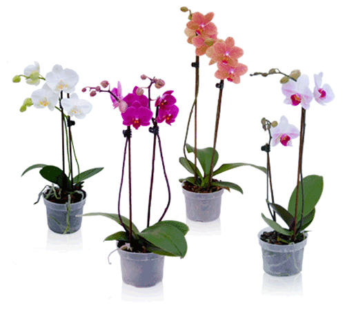 orchid-plant-flower
